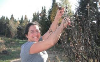 Récolte de semences de Tithonia