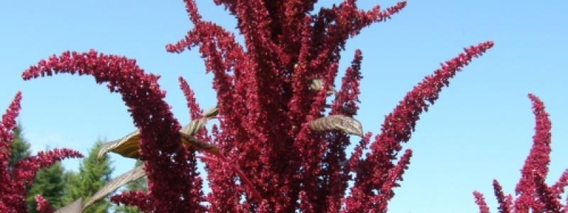 Amarante Hopi Red Dye - Bio