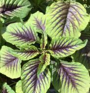Amarante Miriah Leaf - Bio