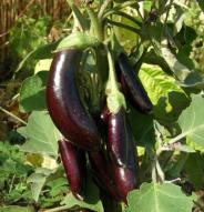 Aubergine Little Finger - Bio