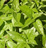 Basilic Genovese - Bio