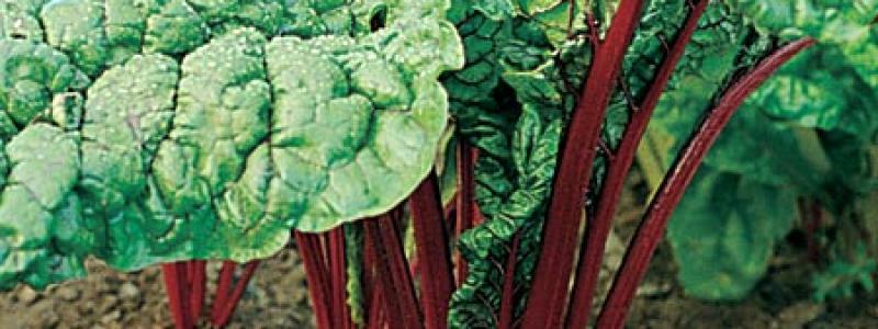 Bette à carde Rhubarb Red - Bio