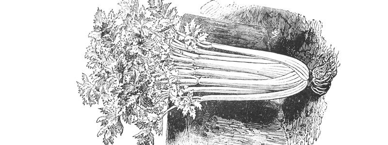 Céleri plein Blanc doré - Bio