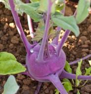 Chou-rave Violet hâtif de Vienne - Bio