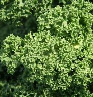 Chou frisé - Kale Dwarf Blue Scotch - Bio