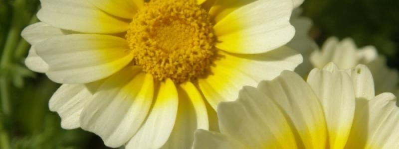 Chrysanthème  comestible - Bio