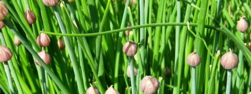 Ciboulette de jardin - Bio