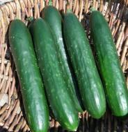 Concombre Libanais Green finger - Bio