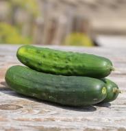 Concombre à cornichon Early Russian - Bio
