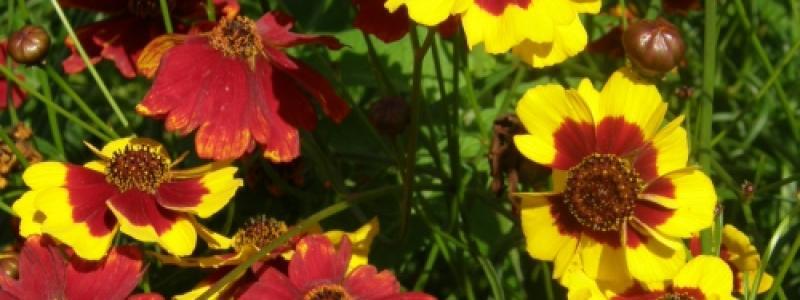 Coréopsis Bouquet Magic - Bio