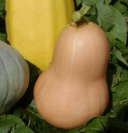 Courge Ponca Baby Butternut - Bio