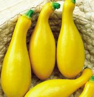 Courgette Yellow Crookneck - Bio