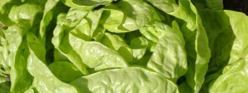 Laitue Buttercrunch bibb - Bio