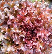 Laitue feuille de Chêne rouge - Bio