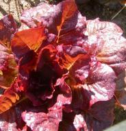 Laitue rouge d'hiver - Bio