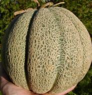 Melon brodé d'Oka - Bio