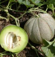 Melon brodé de Montréal - Bio