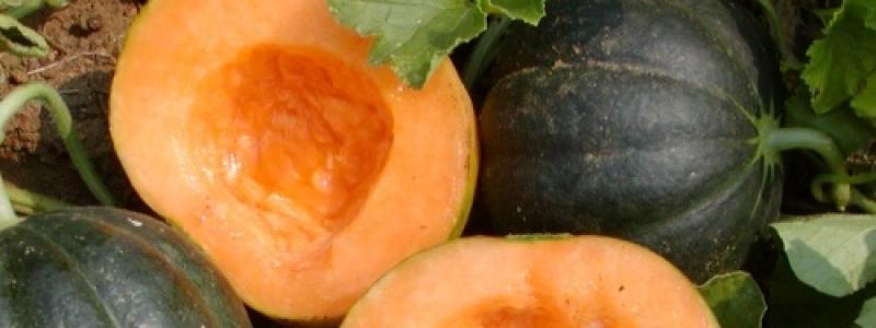 Melon Noir des Carmes - Bio