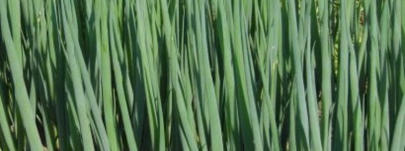 Oignon à botteler Parade - Bio