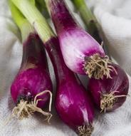 Oignon à botteler Violet foncé - Bio