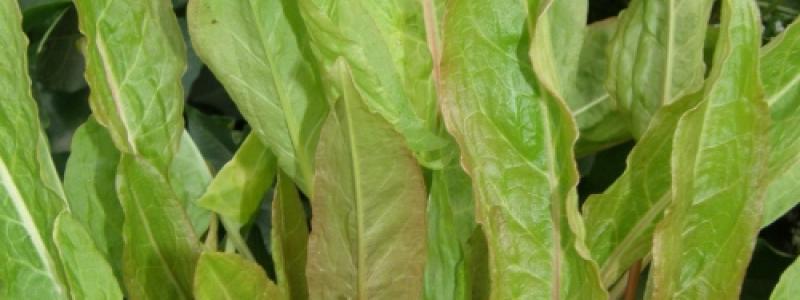 Oseille de jardin - Bio