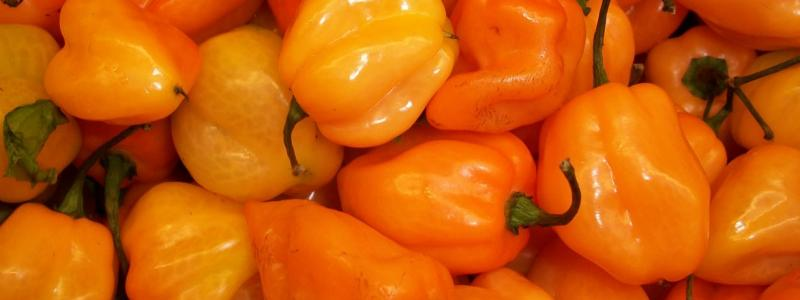 Piment habenero Orange - Bio