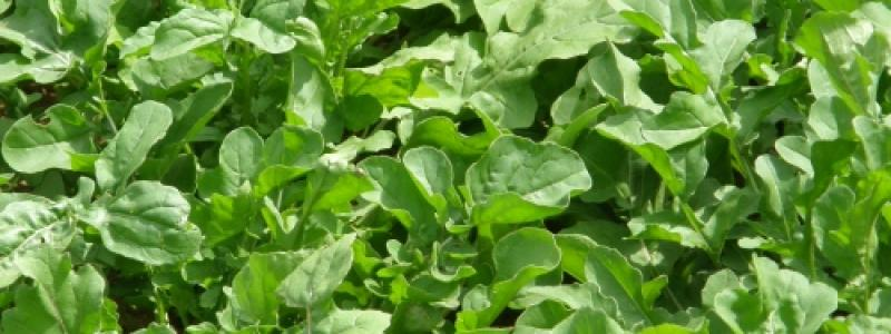 Roquette de jardin - Bio