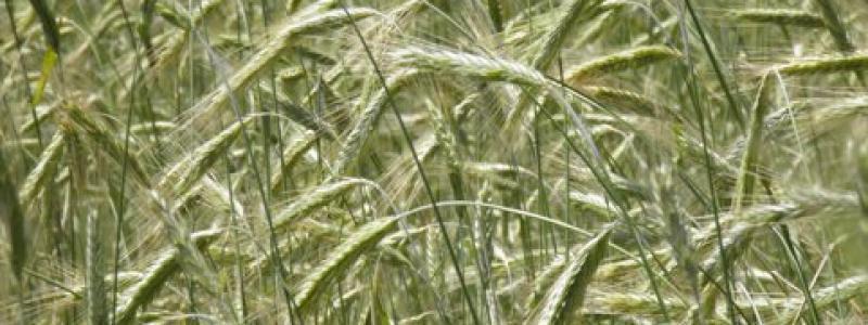 Seigle d'automne - Bio