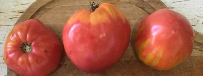 Tomate standard Anna Russian - Bio