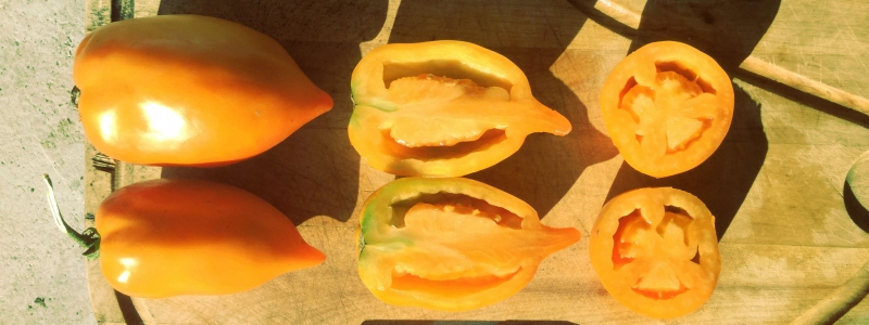 Tomate standard Poivron jaune - Bio