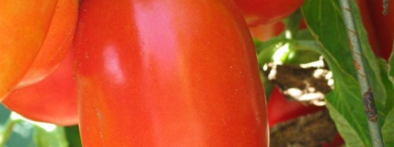 Tomate italienne Aunt Mary's Paste - Bio