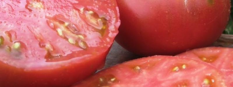 Tomate standard Dester - Bio