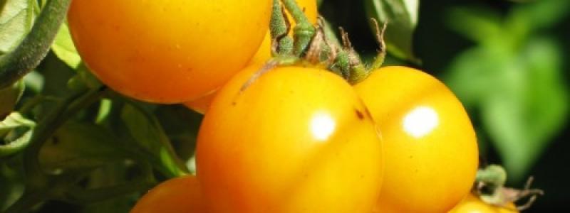 Tomate cerise Gold Nugget - Bio