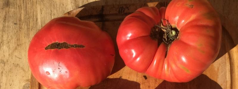 Tomate standard Mémé de beauce - Bio