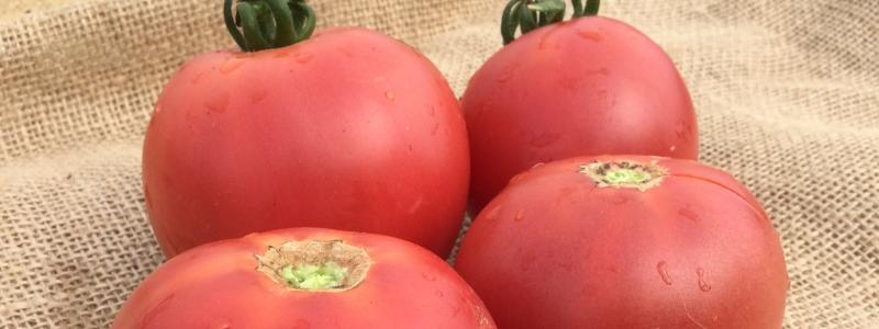 Tomate standard Rose Aimée - Bio