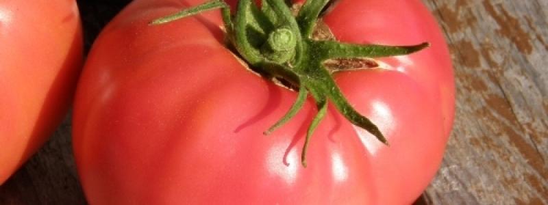 Tomate standard Savignac - Bio