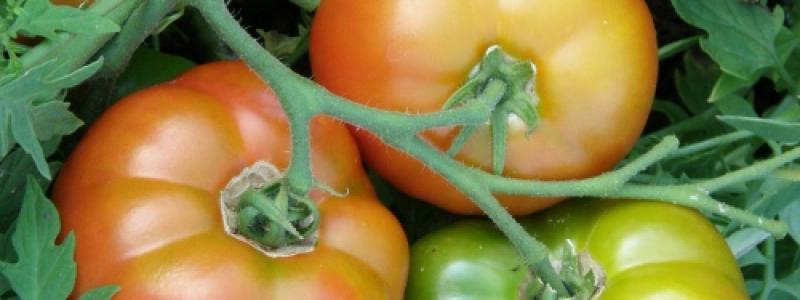 Tomate standard Silvery Fir Tree - Bio