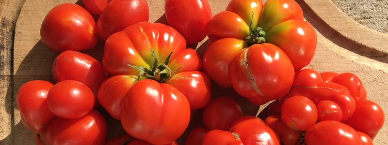 Tomate standard Voyageuse - Bio