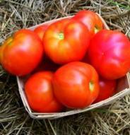 Tomate standard Stupice - Bio
