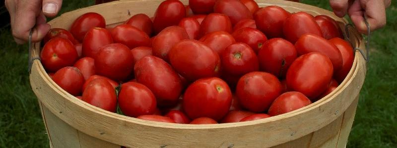 Tomate italienne Amish - Bio