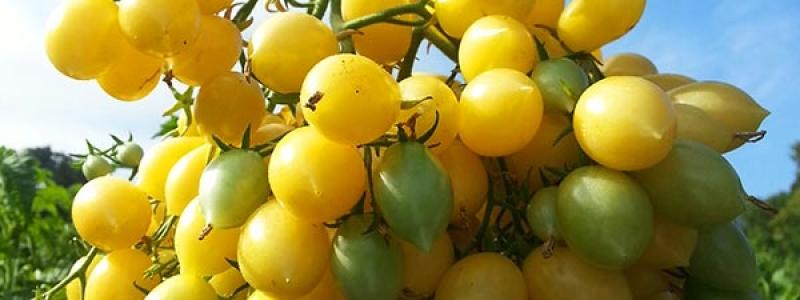 Tomate cerise Barry's crazy - Bio
