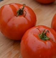 Tomate standard Manitoba - Bio