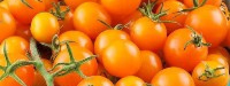 Tomate cerise Sungold - Bio