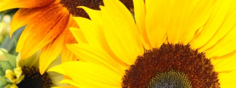 Tournesol d'ornement en mélange - Bio