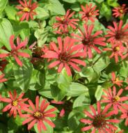 Zinnia Red Spider - Bio