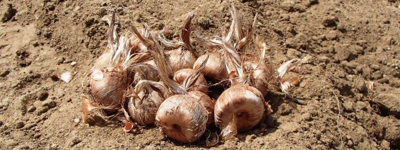 Safran cultivé - Bio