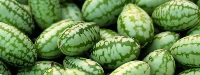 Concombre mexicain - Bio