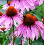 Échinacée purpurea - Bio