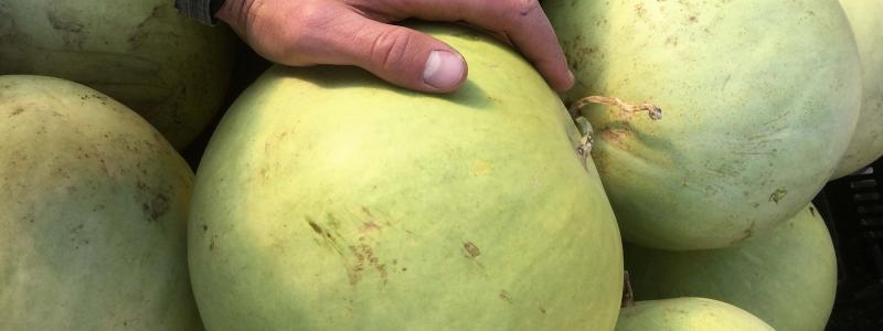 Melon d'eau King and Queen winter - Bio
