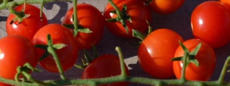 Tomate cerise Petit moineau - Bio
